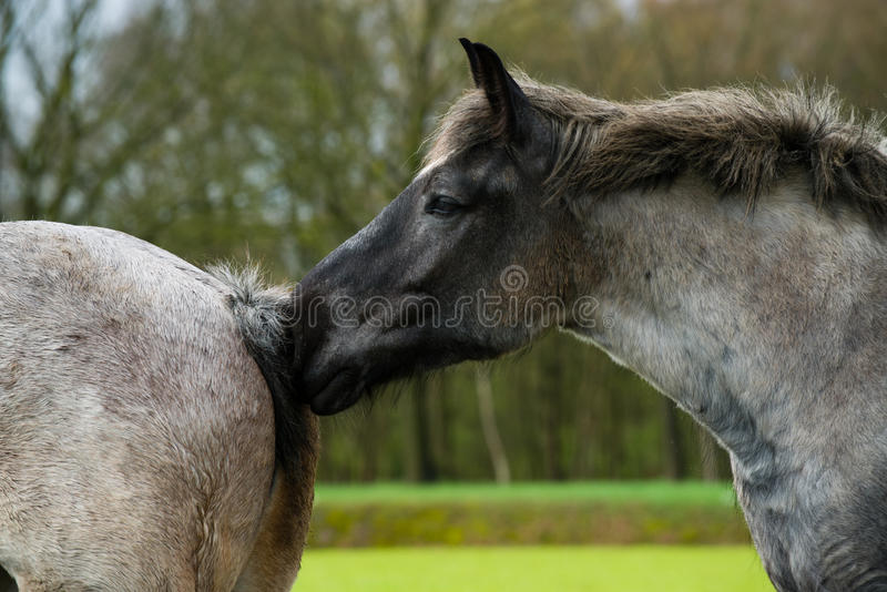 обнюхивать лошади стоковые фото