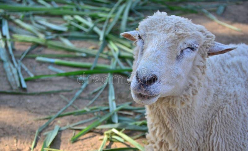 Обои овец стоковое изображение