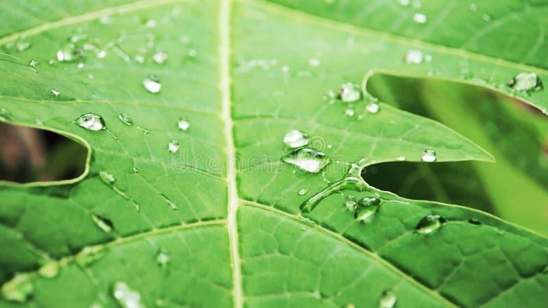 Обои падения воды лист папапайи стоковое изображение