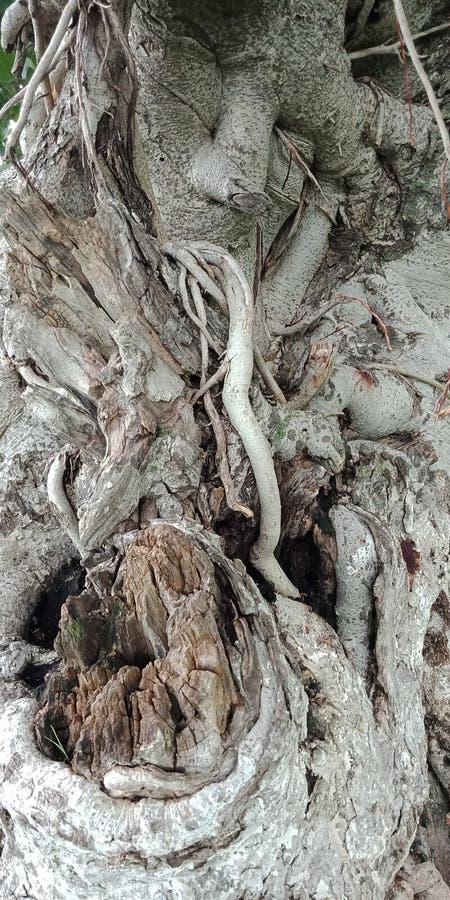 Обои предпосылки природы предпосылки баньяна текстурированные корнями, стоковая фотография