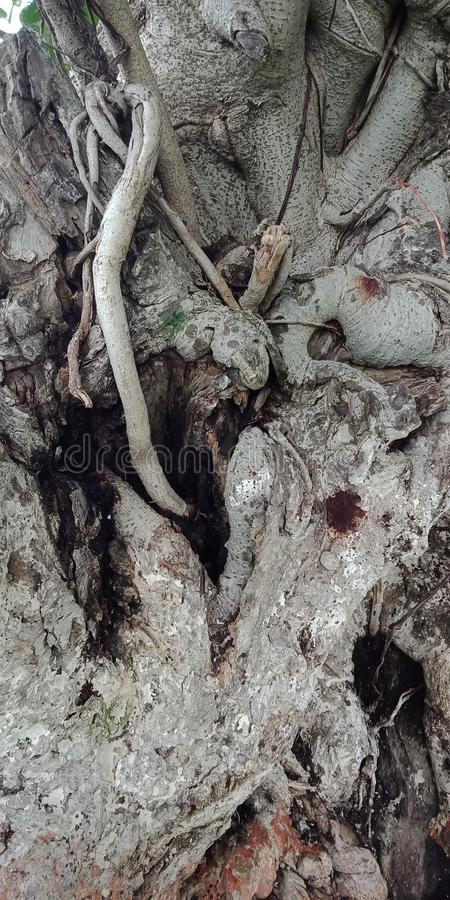 Обои предпосылки природы предпосылки корней и текстур баньяна, стоковые фотографии rf