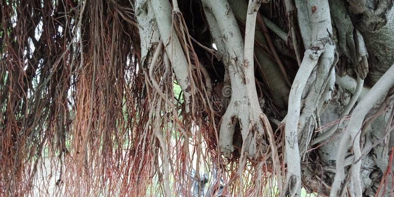 Обои предпосылки природы корней и текстур баньяна, стоковая фотография rf