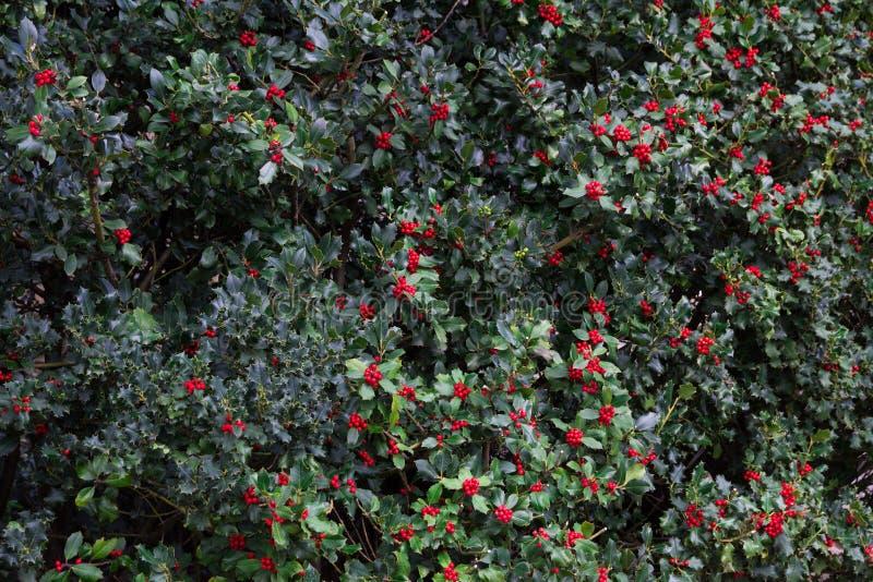 Обои предпосылки ветвей падуба рождества стоковое фото rf