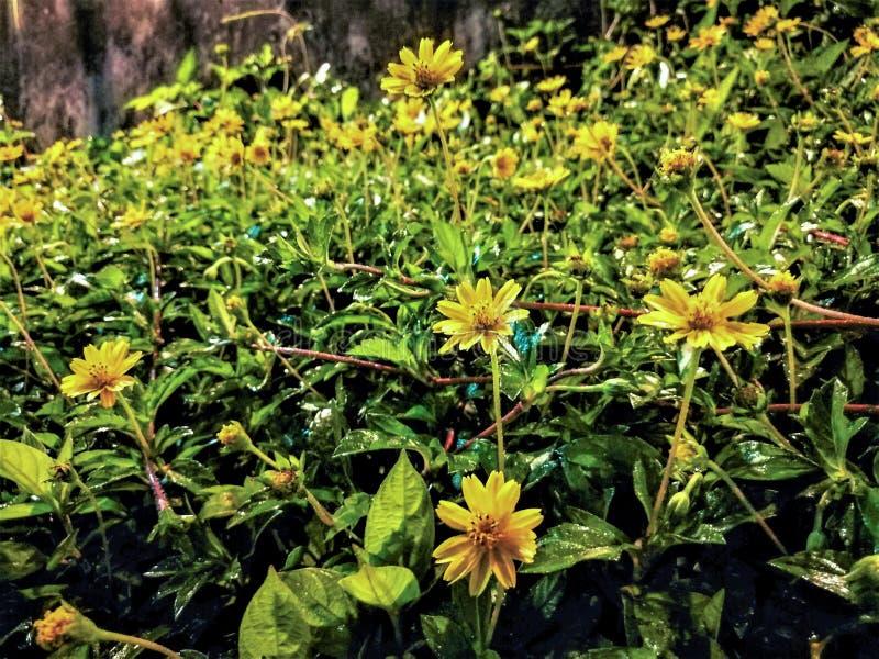 Обои цветка маргаритки Сингапура желтые в саде влажном вечером стоковые фото