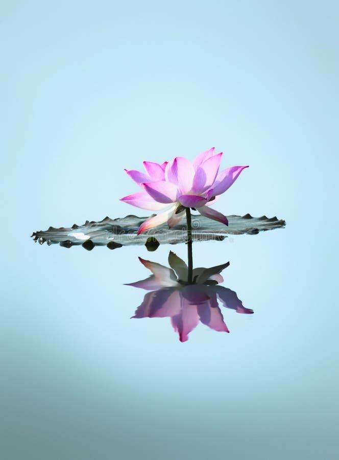 Обои: цветок лотоса стоковое изображение