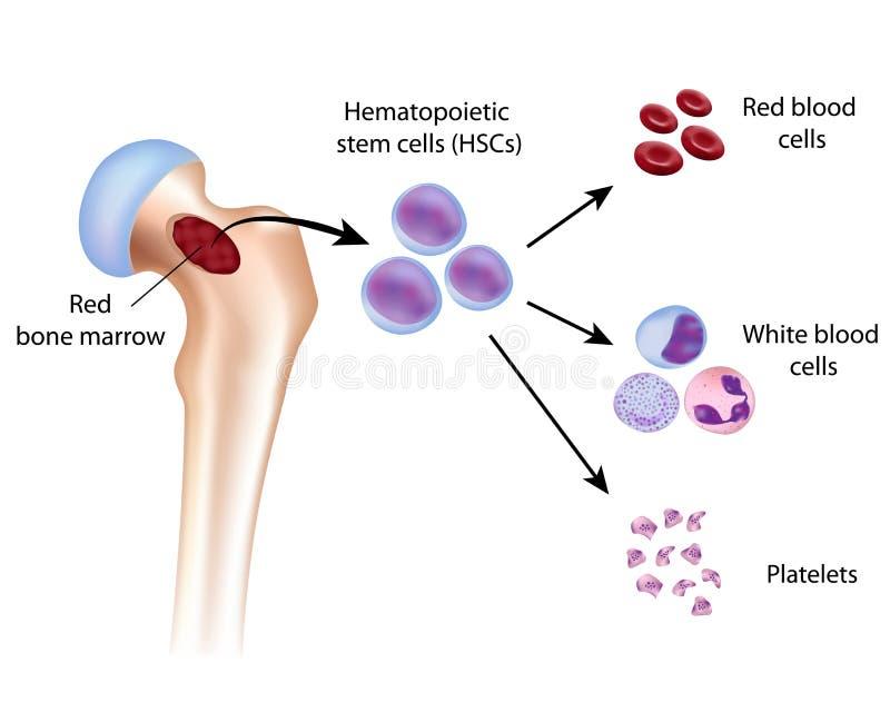 Образование клетки крови иллюстрация штока