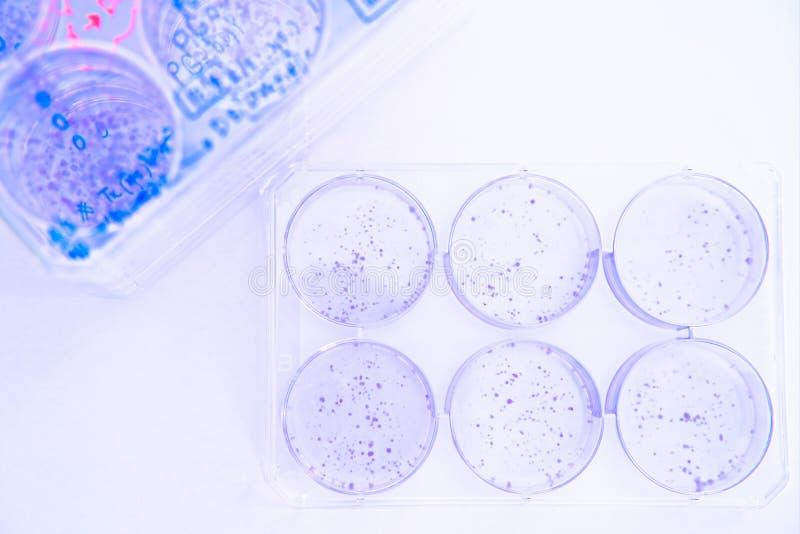 Образование колонии линий раковой клетки запятнано с кристаллическим фиолетовым стоковая фотография