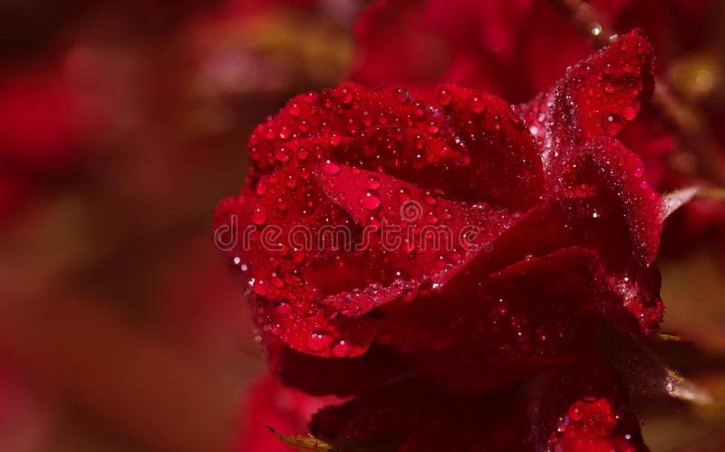 образуйте красные розы стоковые фотографии rf