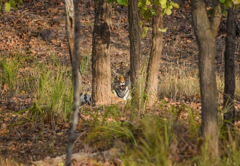 Обрамленный Tigress стоковое изображение