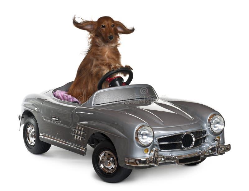обратимый dachshund 3 управляя старыми летами стоковое изображение rf