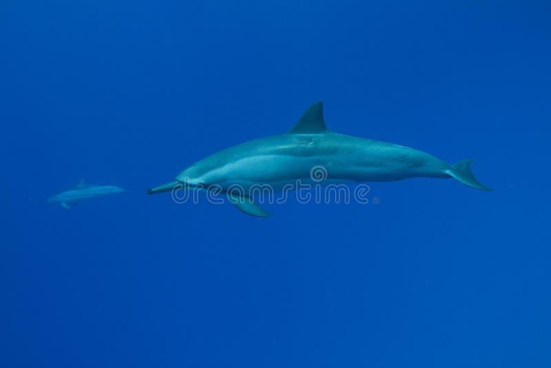 обтекатель втулки дельфина стоковые изображения