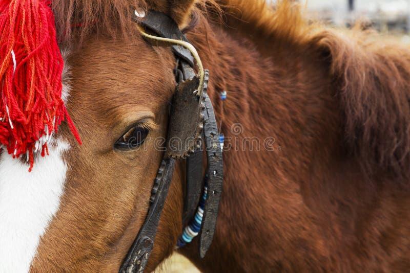 Обузданная лошадь с красным головным украшением стоковые фото