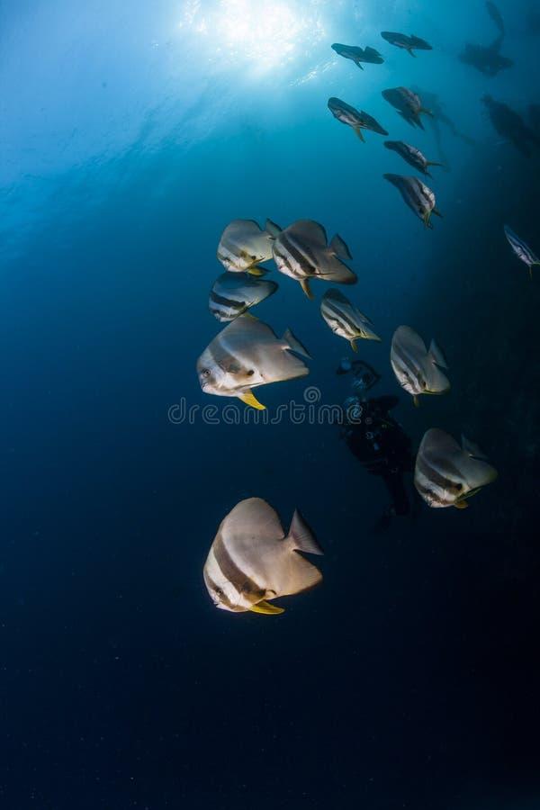 Обучать Batfish стоковые фотографии rf