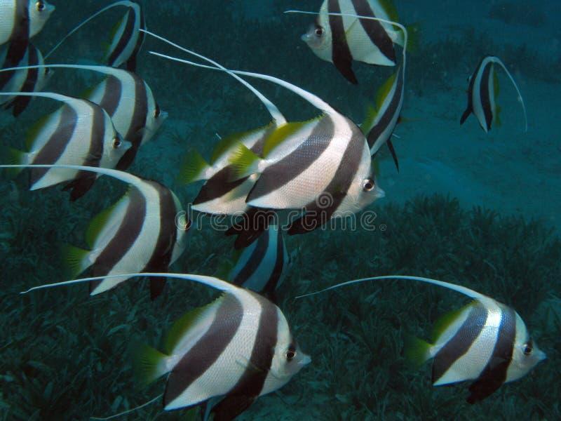 обучать heniochus diphreutes bannerfish стоковая фотография