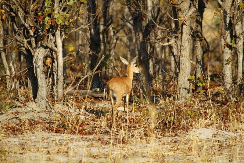 Обучение в реальных условиях антилопы Steenbok стоковые изображения