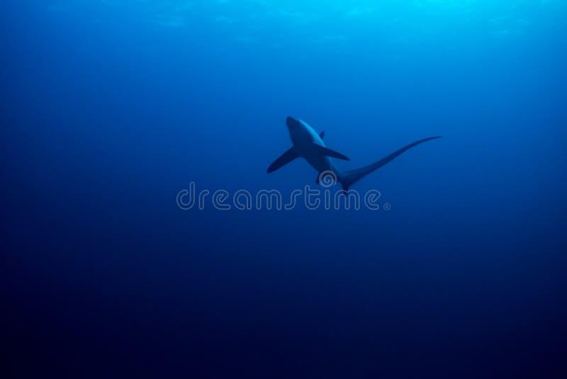 Общая акула молотильщика стоковая фотография