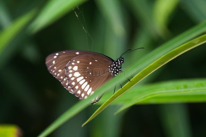 Общая бабочка вороны на зеленой траве во время индийского муссона стоковые изображения rf