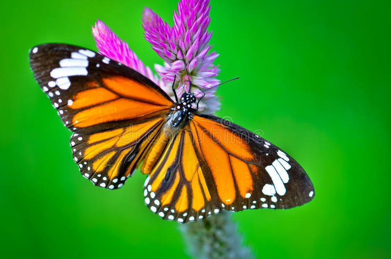 Общая бабочка тигра стоковое изображение rf