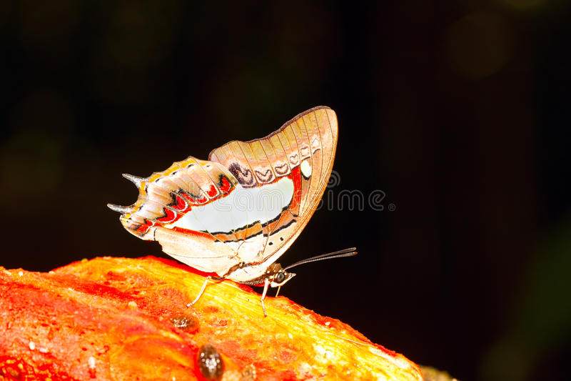 Download Общая бабочка Nawab стоковое фото. изображение насчитывающей обще - 40586722