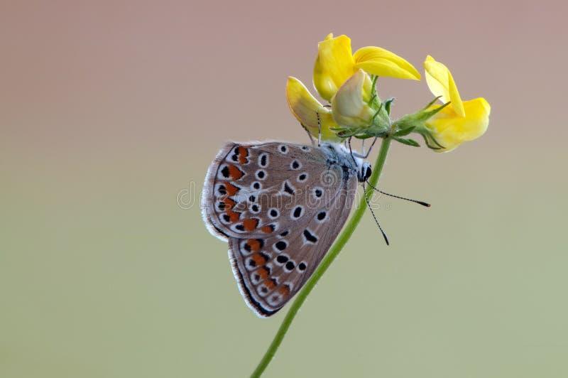 Общая бабочка Polyommatus Икар на цветке леса на летний день стоковые изображения