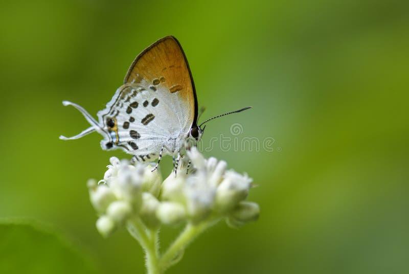 Общая бабочка Posy - ravindra Drupadia стоковое фото