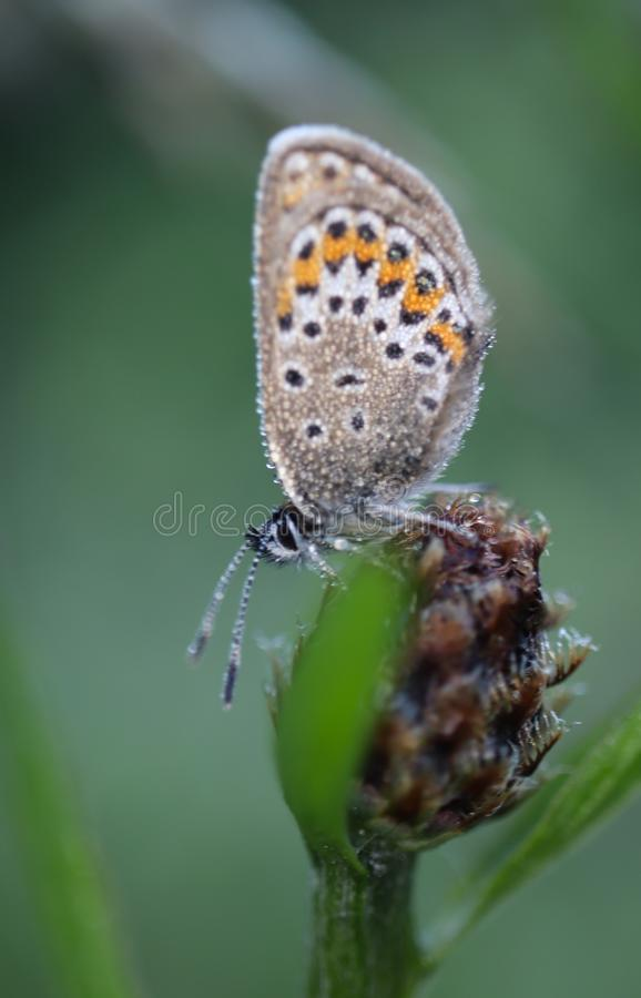 Общая голубая бабочка, Polyommatus Икар бабочка в голубянках семьи и subfamily Polyommatinae стоковые фото