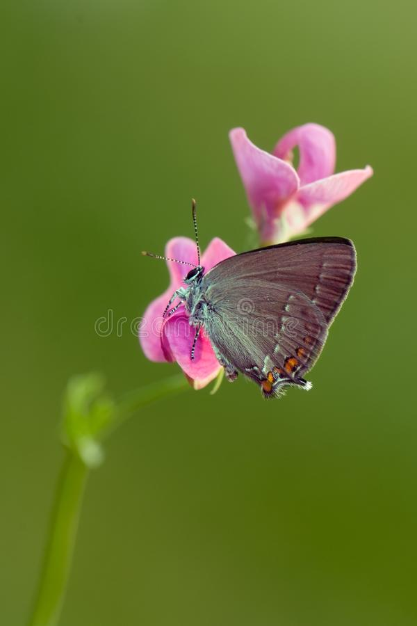 Общая голубая бабочка Polyommatus Икар на glade на розовом цветке поля стоковая фотография rf