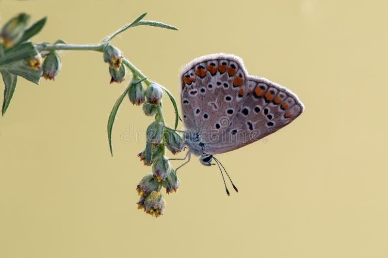 Общая голубая бабочка Polyommatus Икар на glade на цветке поля стоковые изображения
