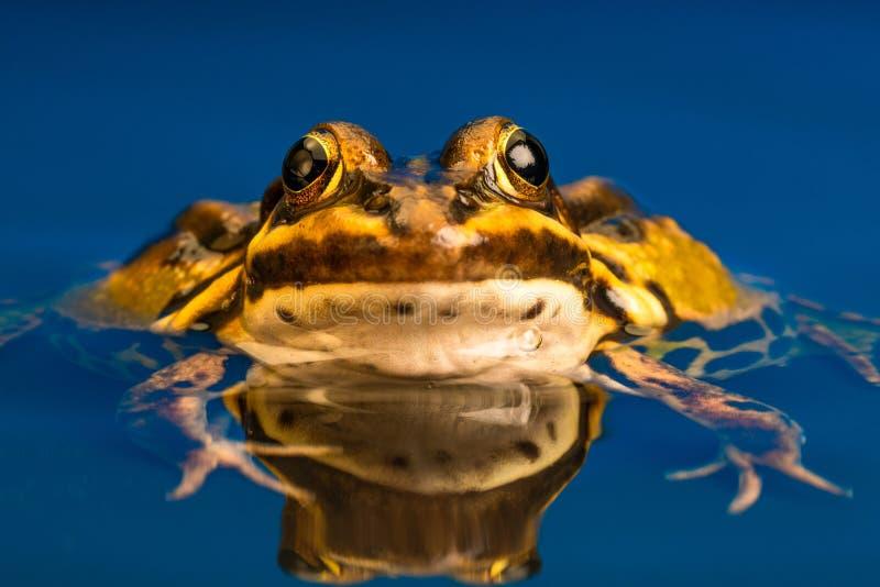 Общая европейская лягушка & x28; Pelophylax kl esculentus& x29; , отражение в воде стоковое изображение