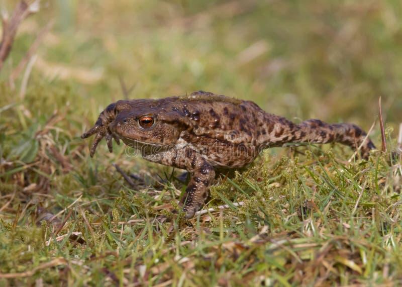 Общая жаба, взрослый весной Великобритания bufo bufo стоковые фото