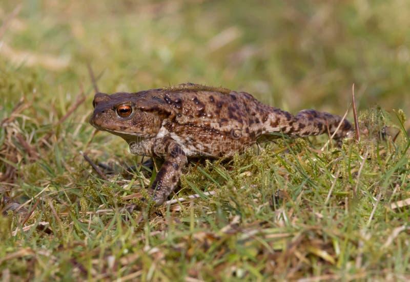 Общая жаба, взрослый весной Великобритания bufo bufo стоковое изображение