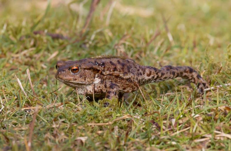 Общая жаба, взрослый весной Великобритания bufo bufo стоковые изображения rf