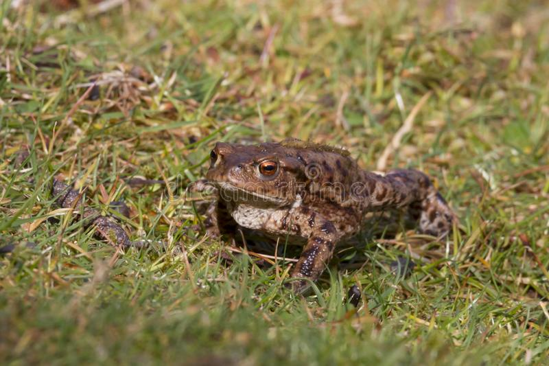 Общая жаба, взрослый весной Великобритания bufo bufo стоковая фотография