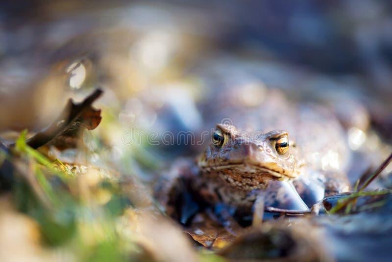 Общая жаба в воде природы стоковое фото rf