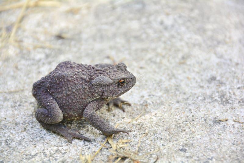 Общая жаба или европейская жаба & x28; Bufo& x29 Bufo; в природе Взгляд конца-вверх, выборочный фокус, запачканная предпосылка стоковые фотографии rf