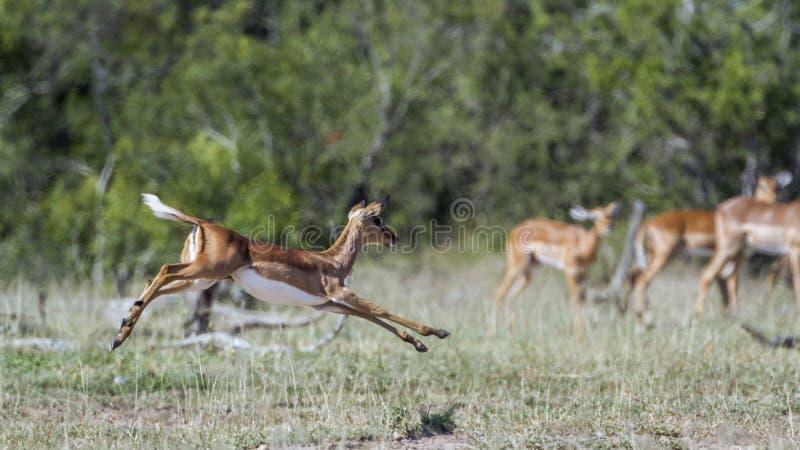 Общая импала в национальном парке Kruger, Южной Африке стоковое изображение rf