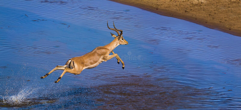 Общая импала в национальном парке Kruger, Южной Африке стоковые фото