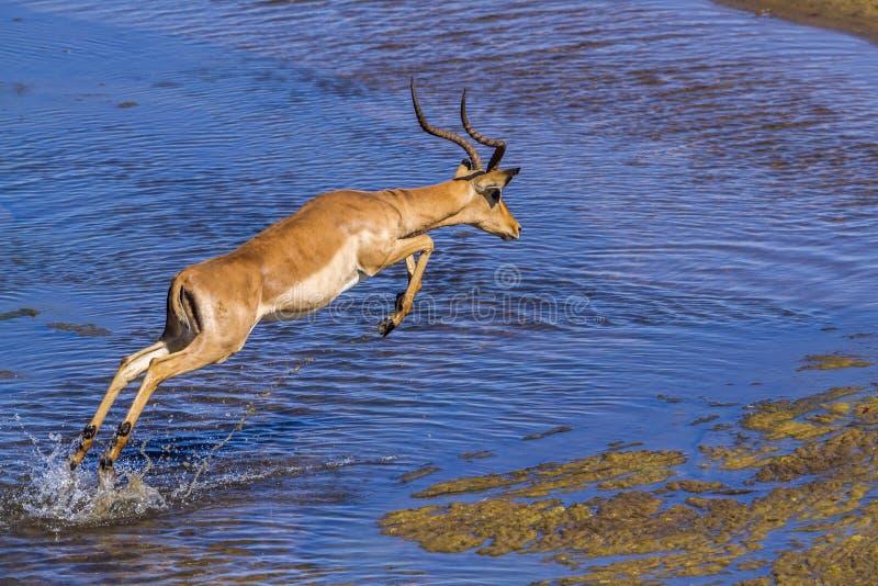Общая импала в национальном парке Kruger, Южной Африке стоковые изображения