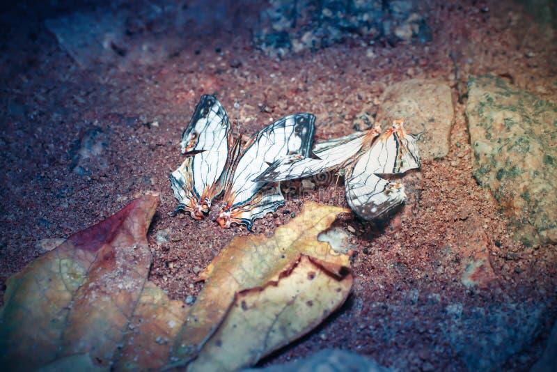 Общая карта бабочки на скале в Национальном парке Намток-Флио в провинции Чантабури Таиланд стоковая фотография