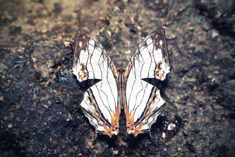 Общая карта бабочки на скале в Национальном парке Намток-Флио в провинции Чантабури Таиланд стоковые изображения