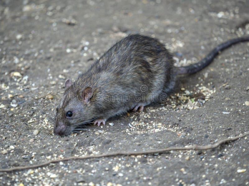 Общая коричневая крыса стоковое фото