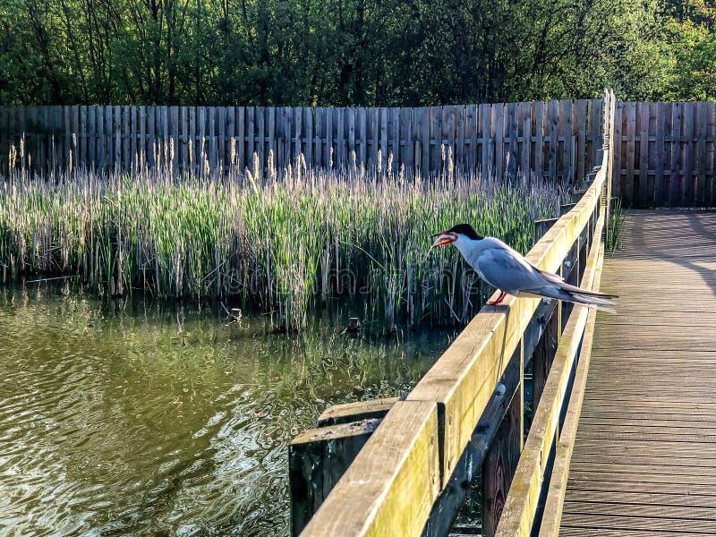 Общая ласточка грудин тройки садить на насест на загородке над водой озера с уловленной рыбой в клюве стоковая фотография