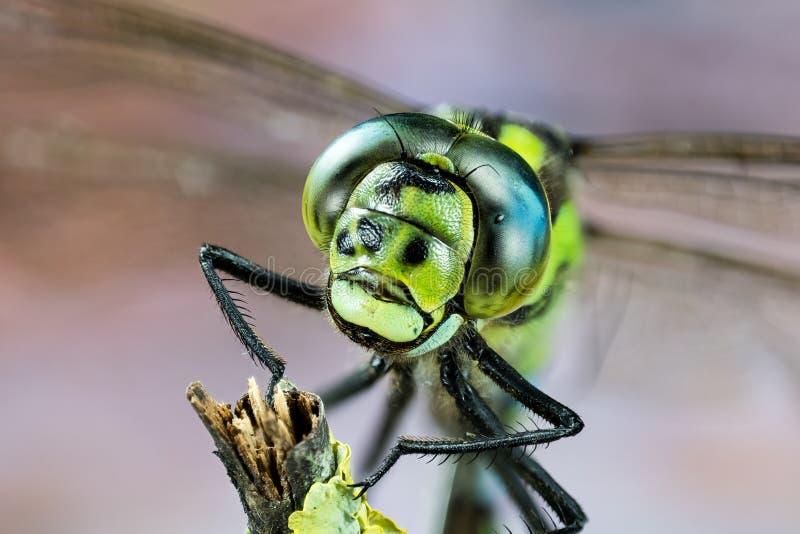 Общая лоточница, Dragonfly, Dragonfly лоточницы, juncea Aeshna стоковое фото
