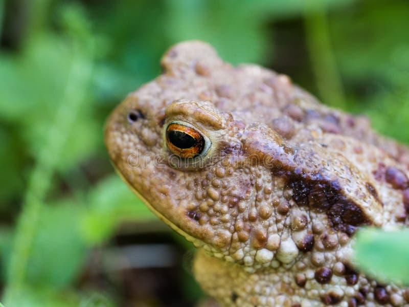 Общая лягушка жабы, bufo bufo европейской жабы лодкамиамфибия найденная в течении большой части из Европы стоковые фото