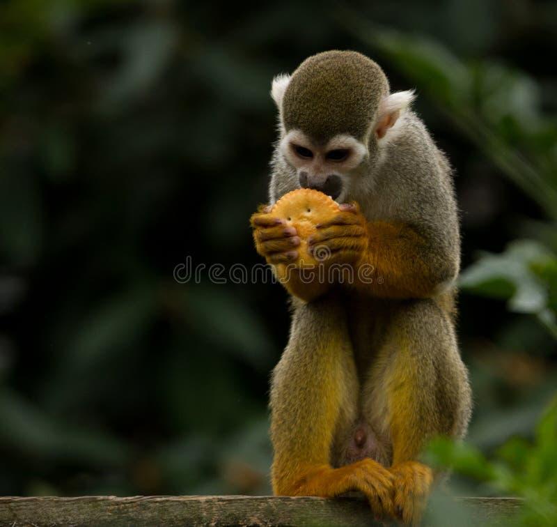 Общая обезьяна белки стоковое изображение rf