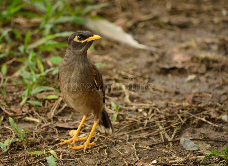 Общая птица myna стоковое фото rf