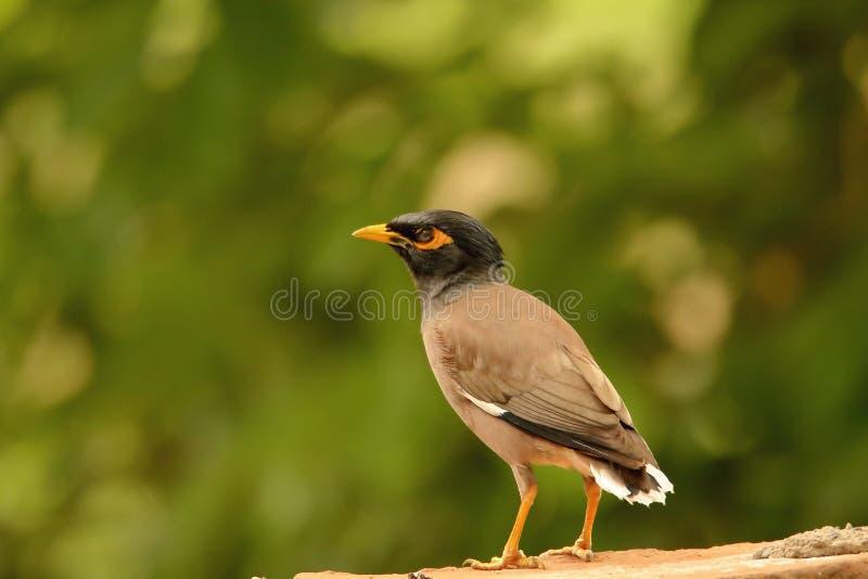 Общая птица myna стоковое фото