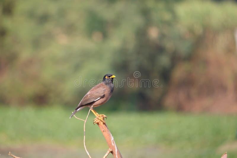 Общая птица Myna стоковое изображение rf