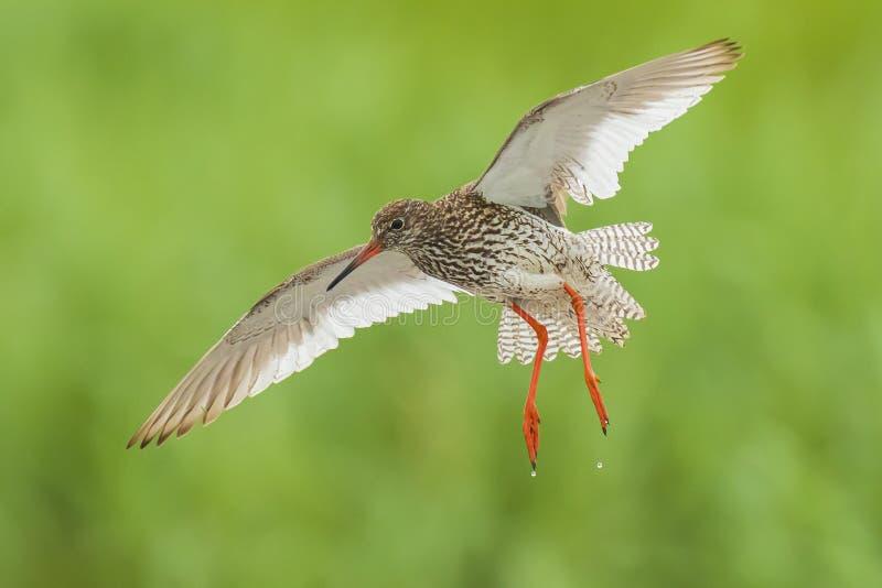 Общая птица wader totanus tringa redshank в полете стоковое изображение