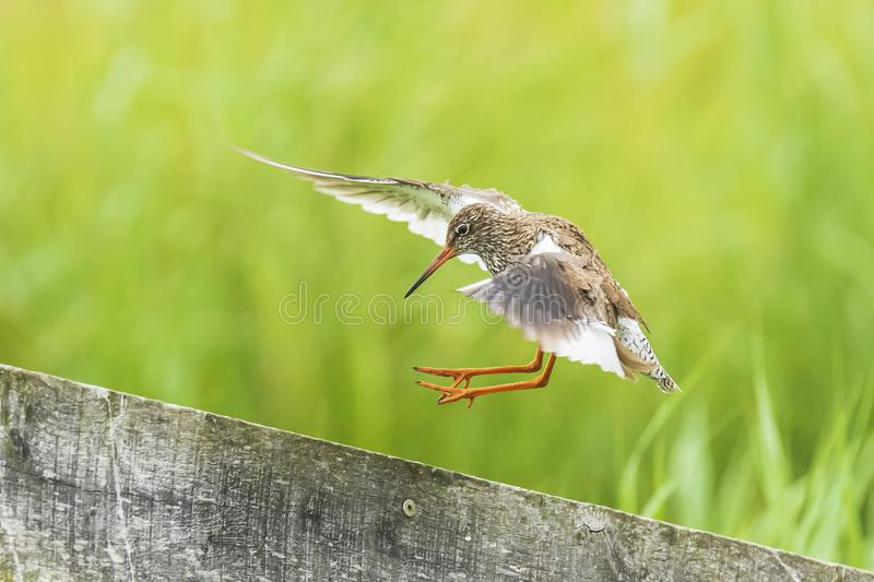 Общая птица wader totanus tringa redshank в полете стоковое фото rf